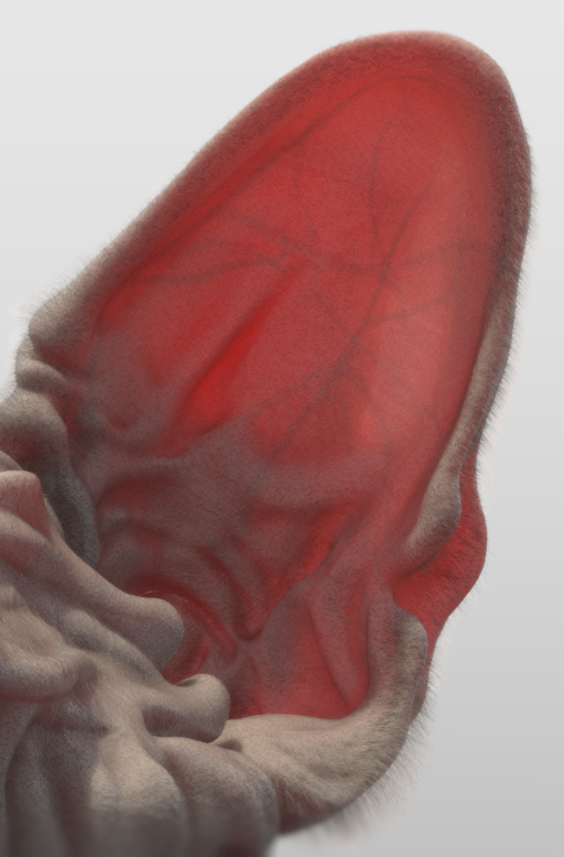 A fuzzy ear's subsurface scattering.